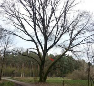 Rödermark. Ein starker Baum.