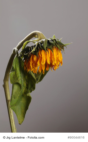 Das Ende der Sonnenblume. Grün war einmal