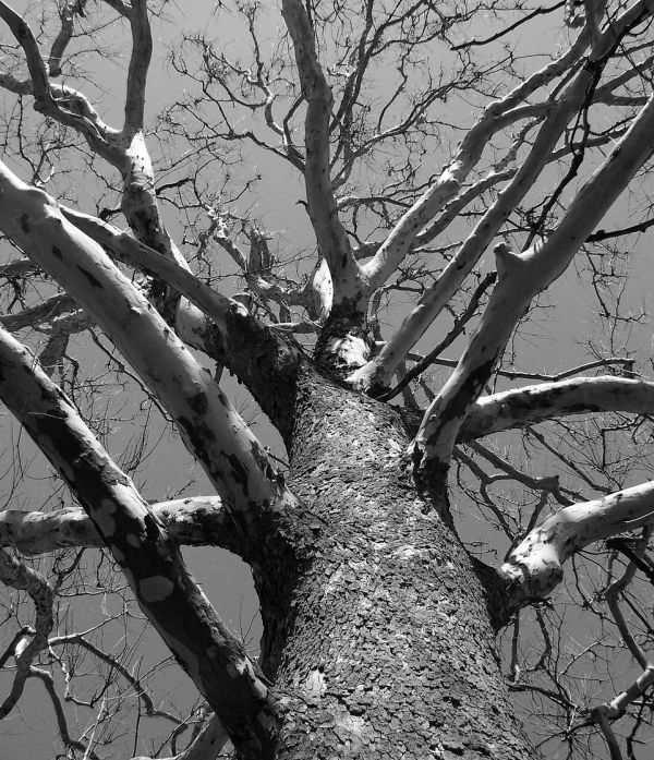 Tote Bäume in Rödermark.
