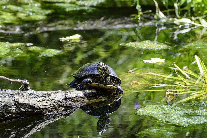 Sumpfschildkröte